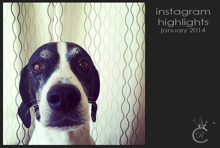 Cute English Pointer dog mug shot • instagram @crPhotoOak